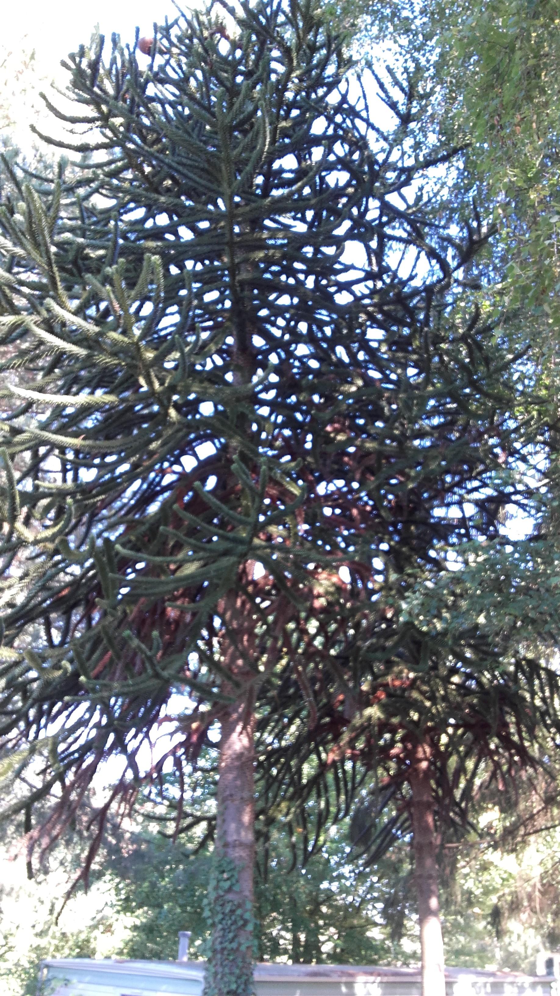 Un Araucarias ou pin du Chili